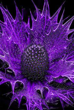 distel bloem
