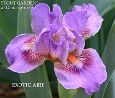 ~IRIS EXOTIC AIRE | Stout Gardens at Dancingtree