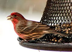 The House Finch is a recent introduction from western into eastern North America (and Hawaii), but it has received a warmer reception than other arrivals like the European Starling and House Sparrow. That's partly due to the cheerful red head and breast of males, and to the bird's long, twittering song, which can now be heard in most of the neighborhoods of the continent.