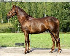 Standardbred - gelding Quicksand Sawar