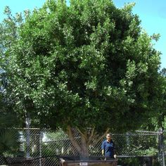 The Multi-Trunked Ficus Tree looks fantastic and has many landscape uses.  Handling the summer heat better than almost any other tree, Indian Laurels are more desired than many other evergreens making it a number one seller.  The dense evergreen foliage of the Indian Laurel is not only bright and fragrant, but creates immense amounts of shade much needed to any desert home.