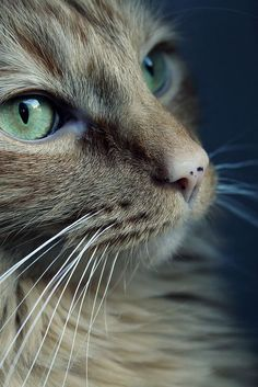 12 Times Pets Tried To Unlock Their Owners Phone And Failed Miserably Pretty Cats, Beautiful Cats, Animals Beautiful, Cute Animals, Beautiful Soul, Simply Beautiful, Photo Chat, Kinds Of Cats, Cat Photography