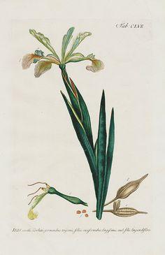 Iris corollis carbatus, germinibus trigones - 1768 - Philip Miller Gardens Dictionary Botanical Prints