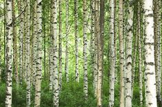 Clear Birch Forest - Wall Mural & Photo Wallpaper - Photowall Scott likes … Custom Wallpaper, Photo Wallpaper, Wall Wallpaper, Wallpaper Ideas, Birch Tree Wallpaper, Forest Wallpaper, Nature Wallpaper, Birch Forest, Misty Forest