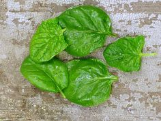 Viroflay is a gourmet French heirloom spinach that was developed prior to 1866. A fine spinach, indeed!