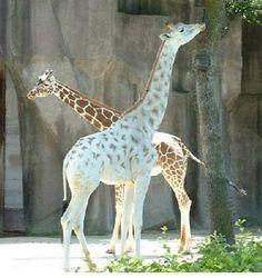 albino giraffe!  just breathtakingly beautiful creature