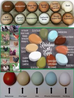 Chicken Coop - Chicken breed egg color chart Building a chicken coop does not have to be tricky nor does it have to set you back a ton of scratch. Laying Chickens, Keeping Chickens, Chickens Backyard, Types Of Chickens, Breeds Of Chickens, How To Raise Chickens, Urban Chickens, Backyard Farming, Chicken Coup
