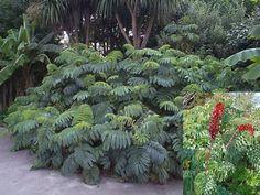 Melianthus major - Palmier, Agave, Aloe, Yucca, Phormium, plantes exotiques- Pépinières Morbihan - Les Pépinières Eric Duval à MOLAC