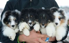 Belmark Shelties - Puppies Adorable ! Makes me want a puppy : )