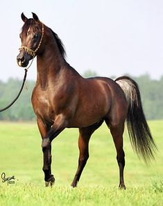TF Fezzan - Straight Egyptian Arabian stallion