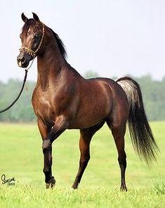 TF Fezzan - Straight Egyptian Arabian stallion