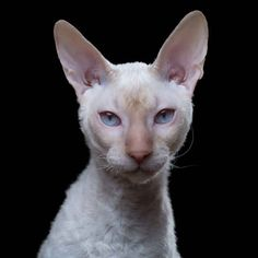 Cornish Rex is one of my favorites