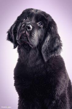 Adele a Newfoundland dog by © Daniel Sadlowski, via linsensuppe-fotografie.de