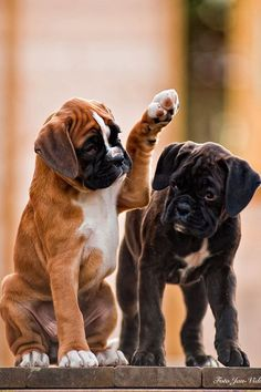 Boxer Puppies - Tap the pin for the most adorable pawtastic fur baby apparel! You'll love the dog clothes and cat clothes! <3 #boxerpuppy
