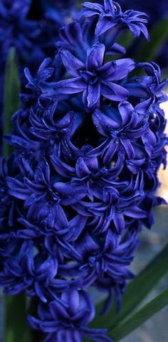 Hyacinth  'Crystal Palace'