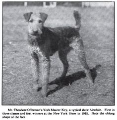 This Photo was uploaded by Pietoro Welsh Terrier, Airedale Terrier, Terriers, Selective Breeding, Black And White Dog, Practical Jokes, Large Dog Breeds, Yorkshire Dales, Vintage Dog