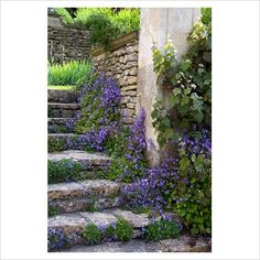 Campanula poscharskyana growing against a stone stairway and walls at Peto Gardens, Wiltshire