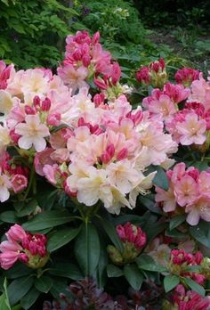 Rhododendron - Percy Wiseman