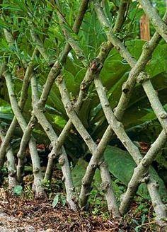 Michael Ryan - Journal  Live willow fence Dream Garden, Garden Art, Garden Plants, Garden Design, Fence Design, Fence Plants, Living Willow Fence, Cerca Natural, Deciduous Trees