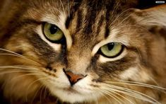 Chats Tabby, Cats And Kittens, Bengal Kittens, Face Pictures, Nature Pictures, Cat Nose, Image Hd, Common Myths, Cat Wallpaper