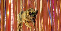 Dépouilles de chiens suspendues et animaux empaillés : nouvelle polémique pour Jan Fabre  :'( sniff :'( sniff BOURREAU :'( ASSASSIN :'( SAUVAGE :'( CONNARD :'( POURRI :'( DEBILE :'( sniff :'( sniff  AMORE  SI TU EST DACCORD PARTAGE MERCI  :'( SNIFF :'( SNIFF :'( SNIFF