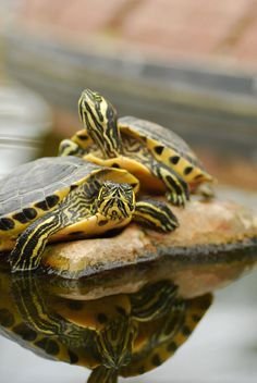 """Two Yellow Bellied Slider Turtle - Two Yellow Bellied Slider Turtle """"Two Yellow Bellied Slider Turtle Informations About Two Yellow - Turtles That Stay Small, Small Turtles, Cute Turtles, Turtle Care, Big Turtle, Turtle Pond, Yellow Bellied Slider, Red Eared Slider Turtle, Alligators"""