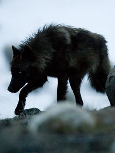 Black wolf!