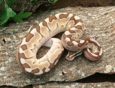 Enchi Butter Cinnamon Woma – Dynasty Reptiles