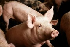 Farmer Dies After Pig Bites Off His Penis And His Fingers