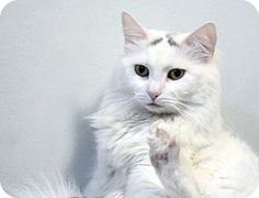 New York, NY - Domestic Longhair. Meet Jocelyn, a cat for adoption. http://www.adoptapet.com/pet/15803172-new-york-new-york-cat