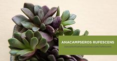 slow-growing succulent spreads out in clumping mats. Get in-depth information about specific types of succulents here!Get in-depth information about specific types of succulents here!