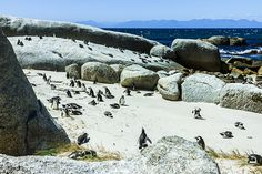 African penguins on Boulder Beach, Simon's Town near Cape Town, South Africa on Mallory on Travel adventure, adventure travel, photography I...