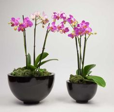 Large and medium black glossy orchid bowls with matching pink orchids Reception desk and coffee table combo