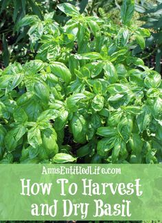How To Harvest and Dry Basil; Basil is a great herb to grow that can be harvested throughout the summer growing season. Here are step by step instructions to harvesting, and drying, basil. http://www.annsentitledlife.com/how-does-your-garden-grow/how-to-harvest-and-dry-basil/