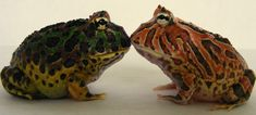 Horned frogs. Ornate on left and Fantasy on right. You can really see the differences between the two. The Ornate (Ceratophrys ornata) naturally occurs in the rain forests of Argentina, Uruguay and Brazil. However the Fantasy is a man-made hybrid usually between the c. cornuta and c. cranwelli.