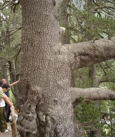 Baikusheva Mura Pine. This is the oldest known tree in Bulgaria.