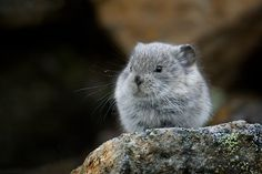 Baby Pika | Baby Pika - Canon Digital Photography Forums