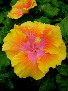 Hibiscus 'Charles Schmidt'