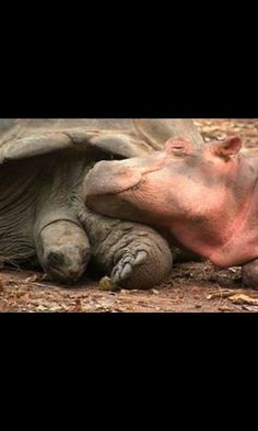 A tortoise and its friend the hippo