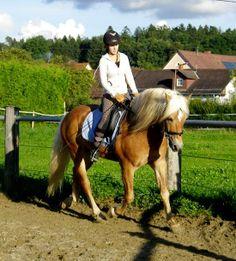 Haflinger stallion Avantgarde