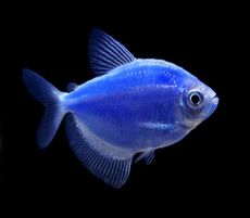 "Premium Cosmic Blue Glofish Tetra, 1"" to 1.5"" long"