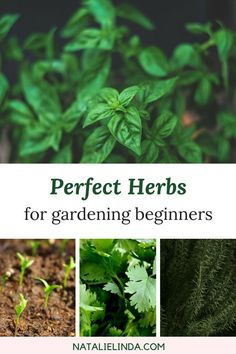 Container Gardening For Beginners These 10 herbs are perfect for beginners who want to start their own herb garden! Most can be planted indoors and in containers! Vegetable Garden For Beginners, Home Vegetable Garden, Gardening For Beginners, Gardening Tips, Flower Gardening, Hydroponic Gardening, Hydroponics, Container Gardening, Organic Gardening