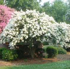 Natchez Crape Myrtle Trees for Sale | Fast Growing Trees: 20-30' H x 20'W, The Natchez Crape grows very rapidly at 3-5' a yr., tolerant of many climates,A Natchez Crape Myrtle also gives you the unusual bark coloring of cinnamon on the trunk and stems, along with its smooth, sleek distinctive texture.
