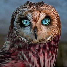 Beautiful Owl, buho hermoso, uele