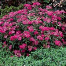 Spiraea x bumalda 'Anthony Waterer'  (Anthony Waterer Spirea).  A yard can never have too much magenta.