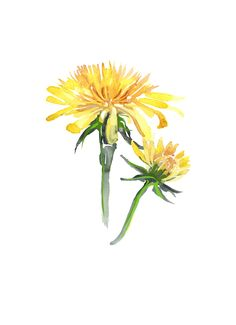 Illustration of a British Dandelion created using water colour and print. Dandelion Drawing, Dandelion Painting, Dandelion Flower, Cow Painting, Watercolor Flowers Tutorial, Easy Watercolor, Floral Watercolor, Botanical Drawings, Botanical Illustration