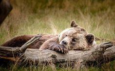 Scarica sfondi orso, la natura, dormire