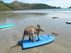 Kangaroo, Wanna board? Cute Baby Kangaroo going for a surf at the beach on a boogie board.