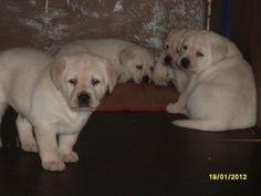 Cuccioli gialli Dogs, Animals, Animales, Animaux, Doggies, Animais, Dog, Animal