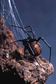 Redback Spider. These little blokes sit quietly in the dark and can deliver a nasty bite if you are not careful.